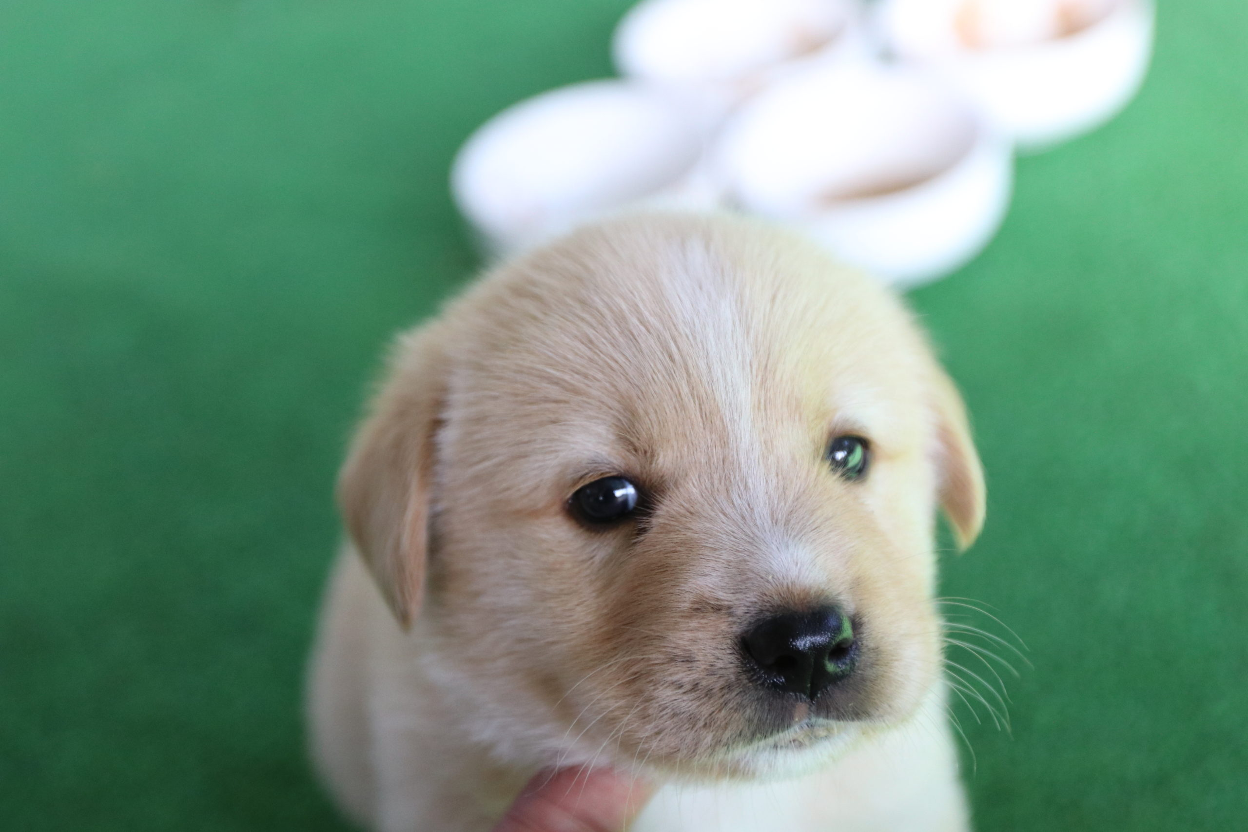 ラブラドール仔犬