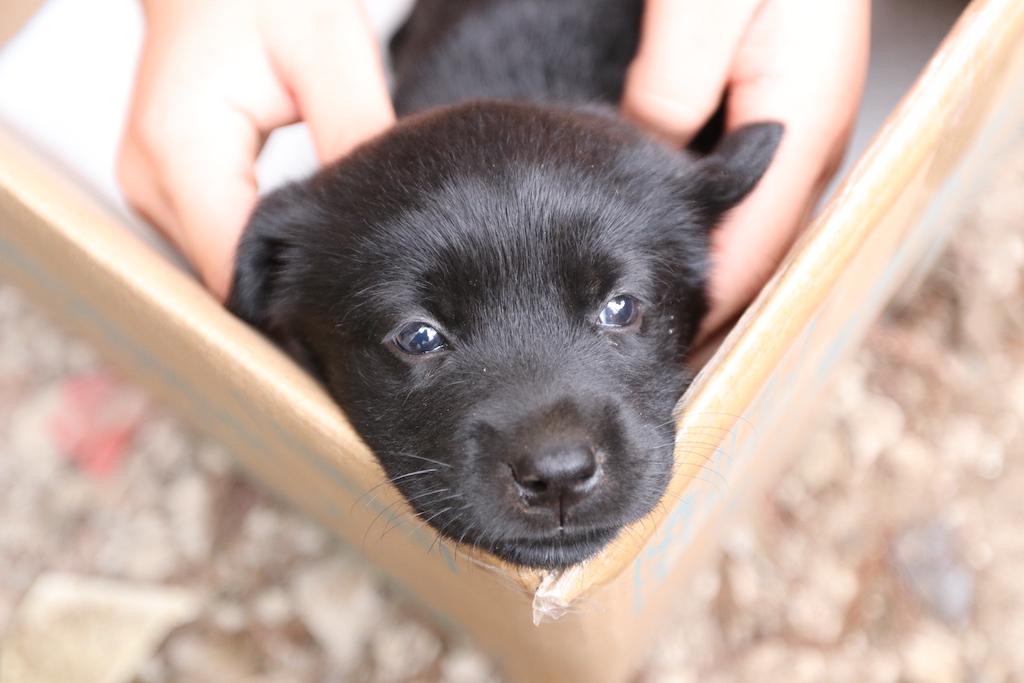 CIMAX黒ラブラドール仔犬